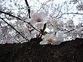 Someiyoshino yasukuni.JPG