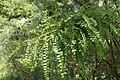 Sophora microphylla kz03.jpg