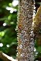 Sorbus randaiensis in Christchurch Botanic Gardens 02.jpg