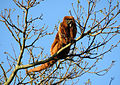 Southern brown howler monkey male sp zoo 1.jpg