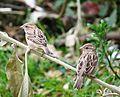 Sparrows at Mudumalai National Park.jpg
