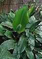Spathiphyllum blandum kz02.jpg