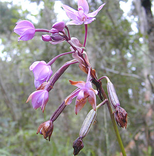 Capsule (fruit) - Flowers and developing fruit capsules of the ground orchid Spathoglottis plicata