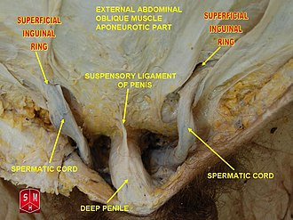 Superficial inguinal ring - Image: Spermatic cord 2
