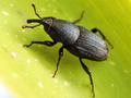 Sphenophorusstriatopunctatus.png