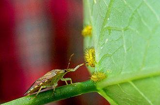 Epilachninae - Spined soldier bug, Podisus maculiventris preying on larvae of Epilachna varivestis