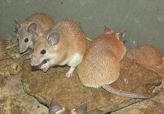 Regeneration (biology) - Spiny mice (Acomys cahirinus pictured here) can regenerate skin, cartilage, nerves and muscle.