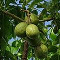 Spondias dulcis, June plum 2.jpg