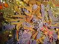 Sponges at Clifton Rocks DSC02093.JPG
