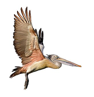 Aequornithes - Image: Spot billed pelican takeoff white background