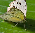 Spotted Butterfly 1 (7974393075).jpg