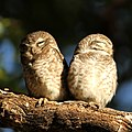 Spotted Owlet12 (cropped).jpg