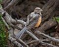 Spotted Towhee, juvenile, Lake Los Carneros, Santa Barbara, CA (50022936787).jpg