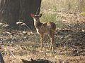 Spotted deer fawn.jpg