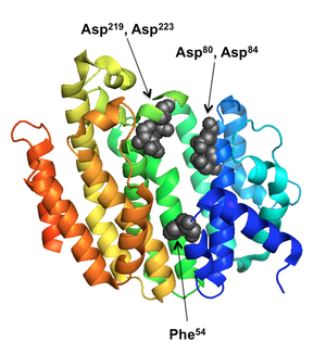 Farnesyl-diphosphate farnesyltransferase - Squalene Synthase (Human). Key residues in the central channel are shown as spheres.