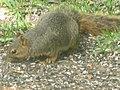 Squirrel in Yard.jpg