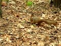File:Squirrel in pavlovsk park.ogv