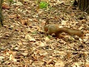 File:Squirrel in pavlovsk park.ogv