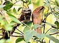 Sri Lanka Frogmouth AMSM0054.jpg