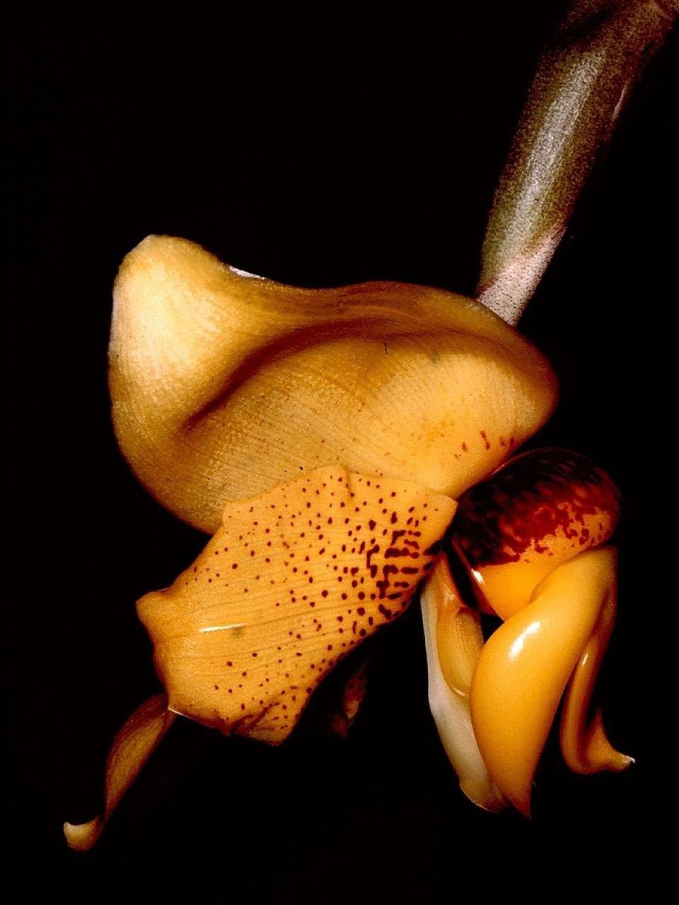 Stanhopea connata Orchi 001