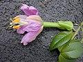 Starr-010423-0062-Passiflora tarminiana-flower profile-Kula-Maui (24450084221).jpg