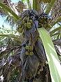 Starr-040318-0043-Pritchardia munroi-fruit-Maui Nui Botanical Garden-Maui (24699600315).jpg