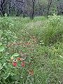 Starr-040324-0007-Zinnia peruviana-habit-Puu o Kali-Maui (24582090412).jpg