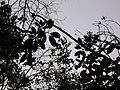 Starr-050125-3251-Charpentiera obovata-habit-Makawao Forest Reserve-Maui (24367482329).jpg