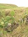 Starr-051122-5394-Opuntia ficus indica-habit-Haleakala Ranch-Maui (24554111780).jpg