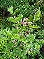 Starr-070621-7482-Rubus niveus-form a flowers and leaves-Upper Kimo Dr Kula-Maui (24771990432).jpg