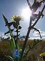 Starr-090331-5373-Sonchus oleraceus-flower and leaves backlit-Kahului Heliport-Maui (24831232302).jpg