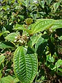 Starr-090526-8554-Clidemia hirta-flowers and leaves-West Poelua West Maui-Maui (24863653701).jpg