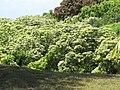 Starr-090616-0776-Aleurites moluccana-many in gulch-Haiku-Maui (24597021869).jpg