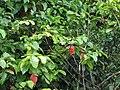 Starr-090617-0891-Sandoricum koetjape-habit showing red leaves-Ulumalu Haiku-Maui (24847001032).jpg