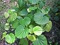 Starr-091104-8938-Piper postelsianum-habit-Kahanu Gardens NTBG Kaeleku Hana-Maui (24870366462).jpg