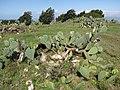 Starr-100331-4041-Opuntia ficus indica-habit-Kula-Maui (24987164486).jpg