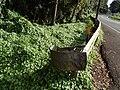 Starr-140603-0662-Delairea odorata-habit-Kekaulike Rd-Maui (24947376370).jpg