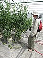Starr-150326-1652-Solanum lycopersicum-fruiting with Forest-Hydroponics Greenhouse Sand Island-Midway Atoll (25267523685).jpg
