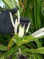Starr-150403-0357-Crinum asiaticum-flower buds-Near Pier Eastern Island-Midway Atoll (25158171962).jpg