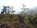 Starr-170727-0518-Lycopodiella cernua-habit with Kim-Makamakaole-Maui - Flickr - Starr Environmental.jpg
