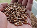 Starr-170821-0418-Triticum aestivum-Marquis homegrown threshed cleaned-Hawea Pl Olinda-Maui - Flickr - Starr Environmental.jpg