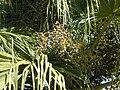 Starr 001228-0128 Livistona chinensis.jpg