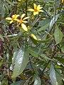 Starr 020622-0051 Bidens micrantha subsp. kalealaha.jpg