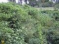 Starr 041018-0036 Solanum torvum.jpg