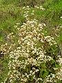 Starr 060225-6111 Ageratina riparia.jpg