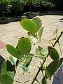 Starr 060922-9115 Erythrina crista-galli.jpg