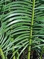 Starr 070306-5233 Cycas circinalis.jpg