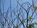 Starr 070404-6617 Prosopis juliflora.jpg