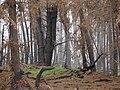 Starr 070908-9114 Pinus sp..jpg