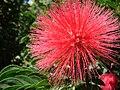 Starr 071024-0461 Calliandra haematocephala.jpg